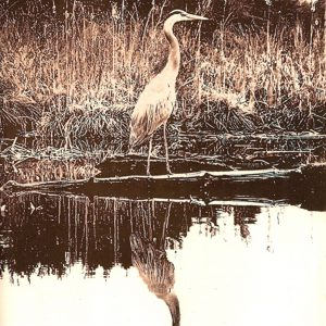 Print of a Heron wading in the reeds