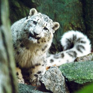 Photo of a snow leopard